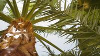Vue de bas en haut d'un magnifique palmier
