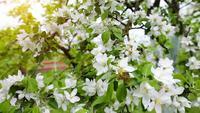 Apfelbaum weiße Blüten