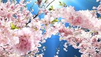 Flowering Pink Cherry Background