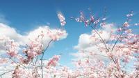 Lapso de tempo de árvore e nuvens de Sakura
