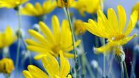 Las gotas de agua caen sobre las flores de crisantemo