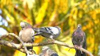 Eine Herde Tauben