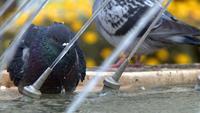 Pigeons près de la fontaine