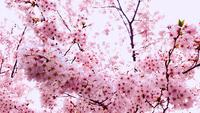 Beautiful Cherry Blossoms