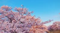 Cherry Blossoms i parken