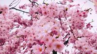 Fleurs de Sakura se bouchent