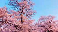Lente Sakura bloemen