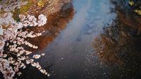 Rivier en kersenbloesems