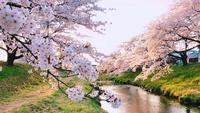 White Cherry Blossom Trees