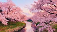 Dreamy Cherry Blossom Trees