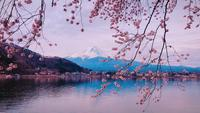 Cherry Blossoms over Riverside en Mount Fuji