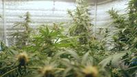 Plantas de cannabis crescendo dentro de uma tenda