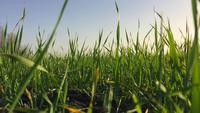 Tarwekiemen in het open veld