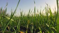 Weizenkeime auf freiem Feld