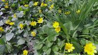 Timelapse av blommor som blommar i vårsolen