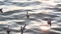 Gaivotas flutuando nas águas de Bangpoo, Tailândia