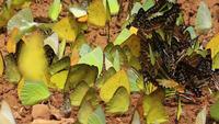 Hermoso enjambre de mariposas