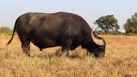 Black Buffalo Eating Grass