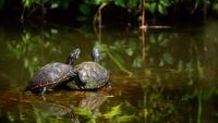 Sköldpaddor vid en sjö