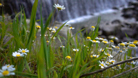Daisiess and Waterfall