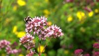 Une abeille sur les fleurs