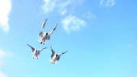 Seagulls Flying and Eating in the Sky