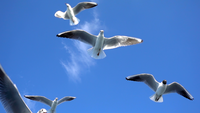 Closeup of Seagulls Flying