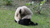 Black  and White Gibbons on Grass Field