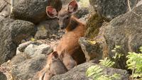 Moeder en baby herten in Niche Rock