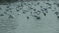 Måger som simmar på havsvattnet