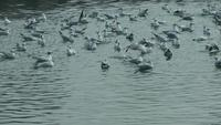 Seagulls Swimming On The Sea Water