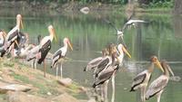 Cegonha pintada voando do lago