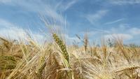 Une brise sur un champ de blé