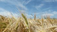 Eine Brise auf einem Weizenfeld