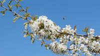 Kersenbloesems en honingbijen