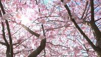 Bloeiende Sakura Tree In Het Voorjaar