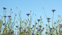 Corn Flowers And Blue Sky