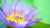 A bee on a lotus flower
