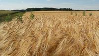 Lapso de tempo do campo de trigo