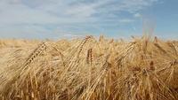 Champ de cultures de blé