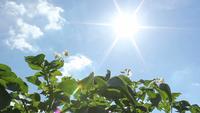 Aardappelplanten en zon