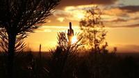 Juvenile Pine Tree At Sunset