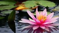 Flores de loto en el agua del lago