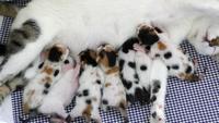 Moderkatt som matar sina babykattungar