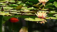 Flores de lótus na água da lagoa