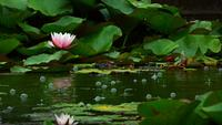 Lotus Flowers on Lake Water and Rain