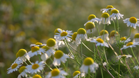White Daisy In Nature