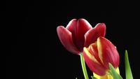 Tulipas de planta linda flor