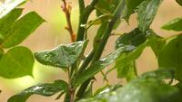 Lloviendo sobre hojas de plantas