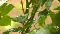 Raining on Plant Leaves
